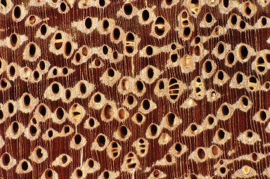 LEGUMINOSAE CAESALPINIOIDEAE Mimosoid Clade Abarema jupunba