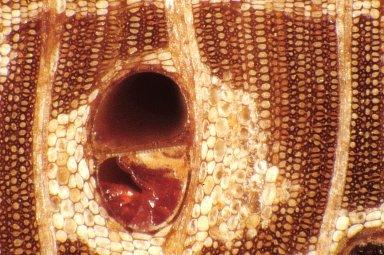 LEGUMINOSAE DETARIOIDEAE Afzelia rhomboidea