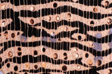 LEGUMINOSAE PAPILIONOIDEAE Andira coriacea