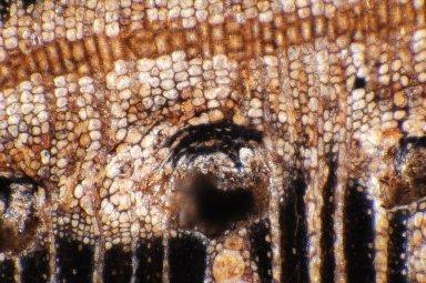 ACANTHACEAE Avicennia germinans