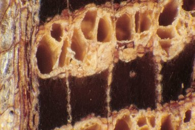 PROTEACEAE Banksia ilicifolia