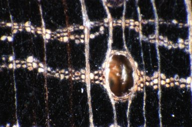 LEGUMINOSAE PAPILIONOIDEAE Bocoa prouacensis