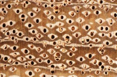 LEGUMINOSAE DETARIOIDEAE Brachystegia leonensis