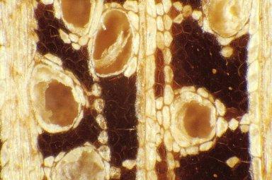 RHIZOPHORACEAE Carallia brachiata