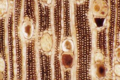 RHAMNACEAE Emmenosperma alphitonioides