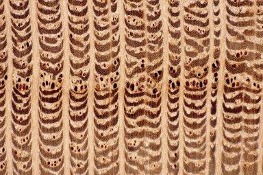 PROTEACEAE Grevillea robusta