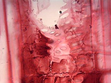 ANACARDIACEAE Semecarpus anacardium