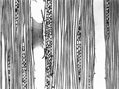 ANNONACEAE Cyathocalyx maingayi