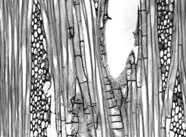 ANNONACEAE Cyathocalyx biovulatus
