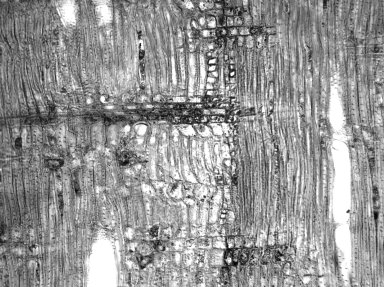APOCYNACEAE Carissa spinarum