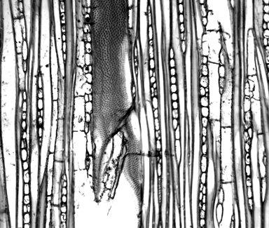APOCYNACEAE Himatanthus articulatus