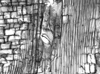 ARALIACEAE Reynoldsia sandwicensis