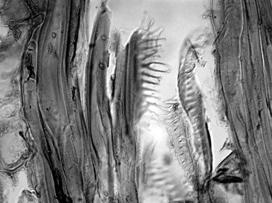 ARALIACEAE Schefflera digitata