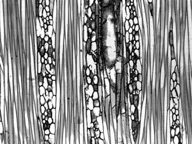 ASTERACEAE Tessaria integrifolia
