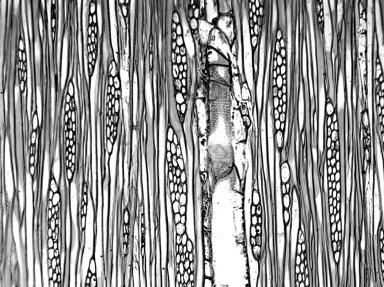 BIGNONIACEAE Radermachera xylocarpa