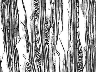 APOCYNACEAE Stemmadenia grandiflora