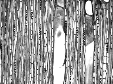 APOCYNACEAE Wrightia arborea