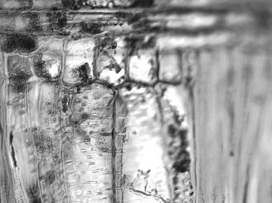 BIGNONIACEAE Handroanthus ochraceus