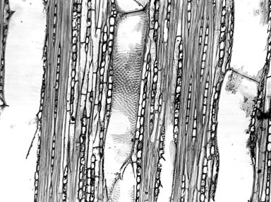 COMBRETACEAE Terminalia guyanensis
