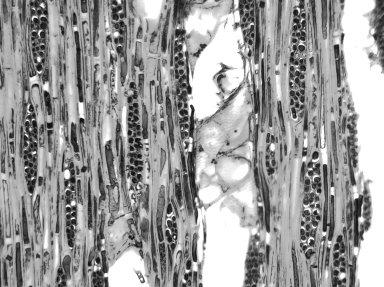 BURSERACEAE Protium serratum