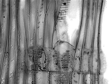 CERCIDIPHYLLACEAE Cercidiphyllum magnificum
