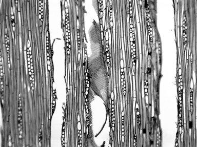 BURSERACEAE Tetragastris balsamifera