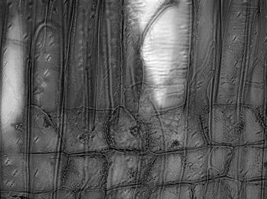CELASTRACEAE Maytenus boaria
