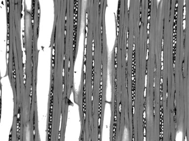 CELASTRACEAE Celastrus peduncularis