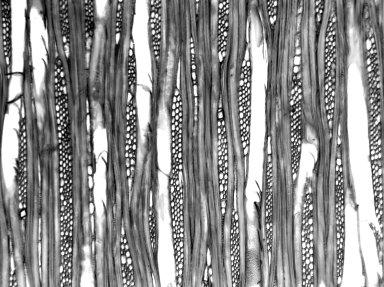 CELASTRACEAE Schaefferia frutescens