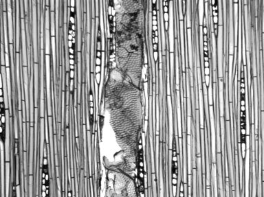 BURSERACEAE Dacryodes edulis