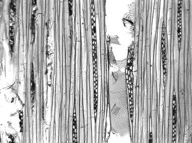 LAURACEAE Nectandra globosa