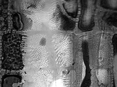 SALICACEAE Laetia cupulata