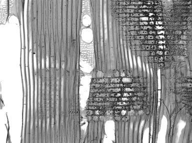 NOTHOFAGACEAE Nothofagus truncata