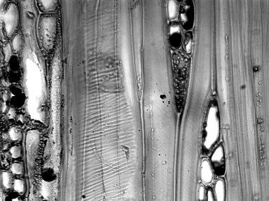LAURACEAE Persea odoratissima