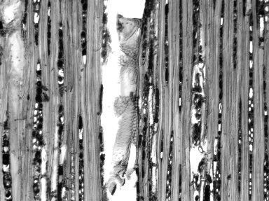 PERACEAE Chaetocarpus castanocarpus