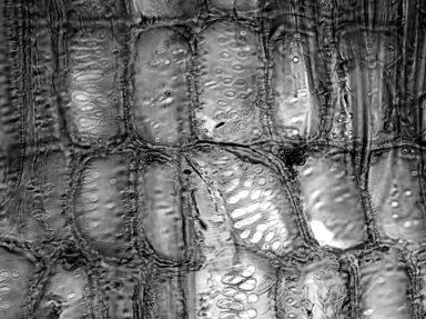 EUPHORBIACEAE Codiaeum variegatum