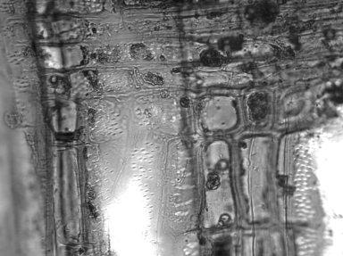 ACHARIACEAE Hydnocarpus kurzii