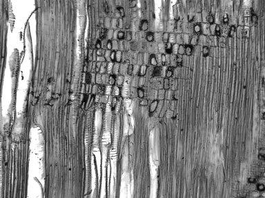 ACHARIACEAE Rawsonia lucida