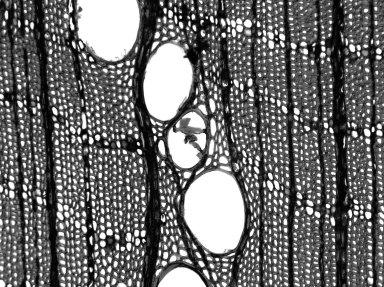 HYPERICACEAE Vismia cayennensis