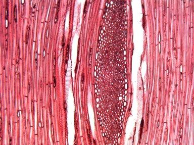 GROSSULARIACEAE Ribes sanguineum
