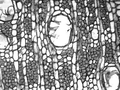 CLUSIACEAE Montrouziera cauliflora