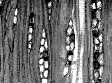 CELASTRACEAE Canotia holacantha