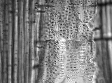 RHAMNACEAE Colubrina faralaotra
