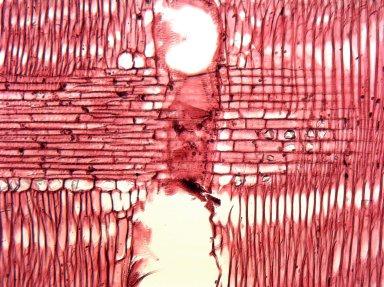 MORACEAE Broussonetia luzonica