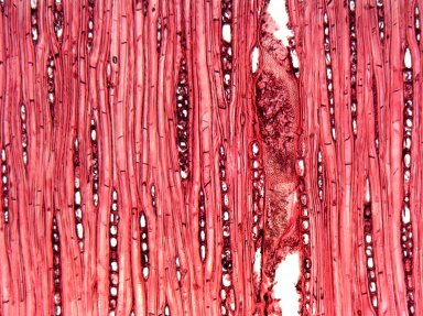 MELIACEAE Dysoxylum pettigrewianum