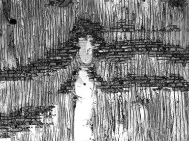 LYTHRACEAE Physocalymma scaberrimum