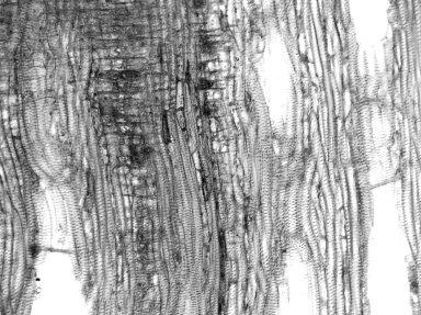 MENISPERMACEAE Hyperbaena domingensis