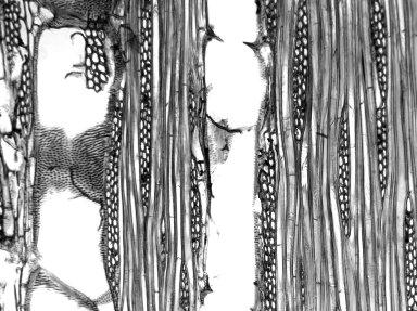 MELIACEAE Dysoxylum gaudichaudianum