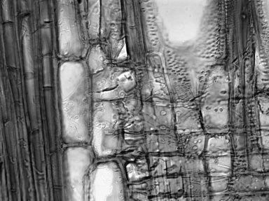 MELIACEAE Dysoxylum excelsum