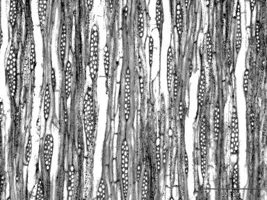 EUCOMMIACEAE Eucommia ulmoides